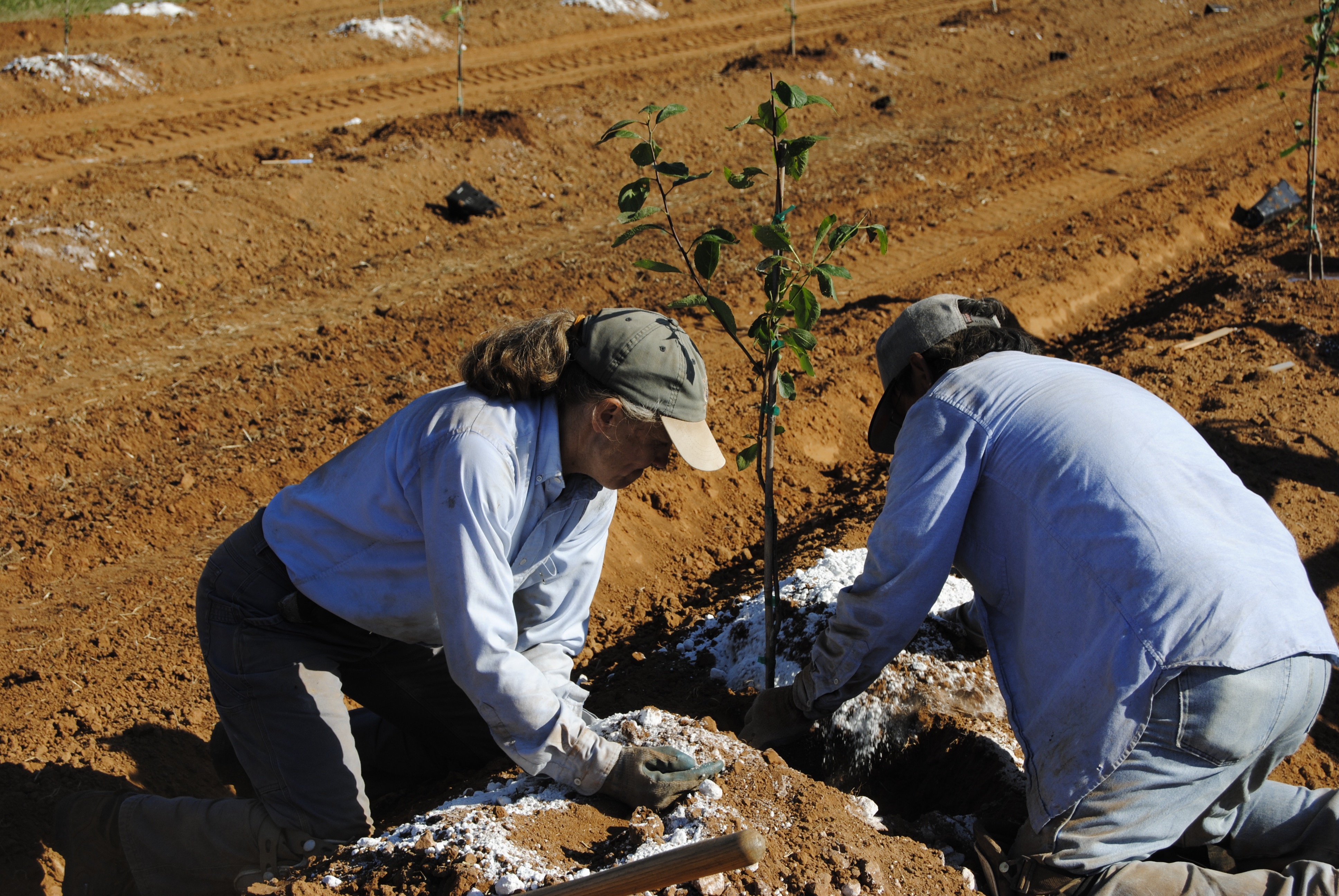 planting walnut saplings